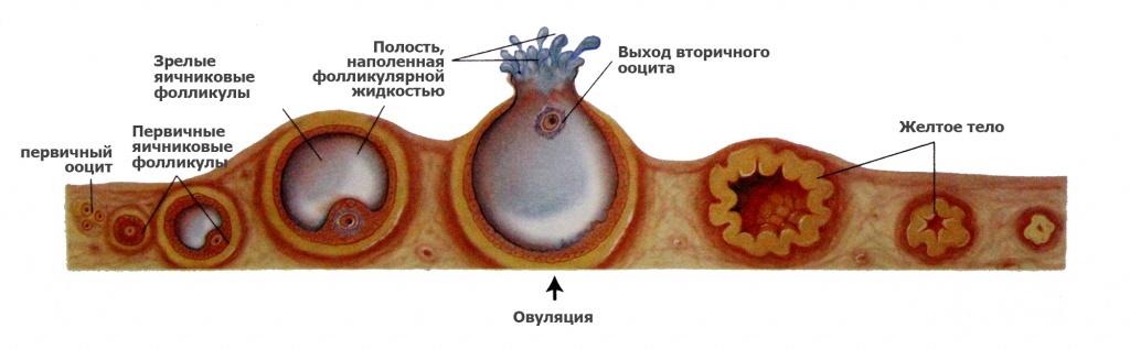 Схема оплодотворения – Baby-live.ru: Как происходит процесс оплодотворения