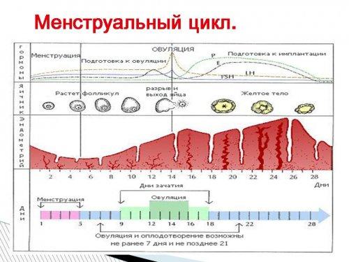 Цикл 23 дня когда овуляция – Овуляция при менструальном цикле в 21-23 дня. Как рассчитать, когда максимально высока вероятность зачатия ребенка?